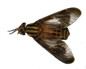 Deerfly feeding on human skin